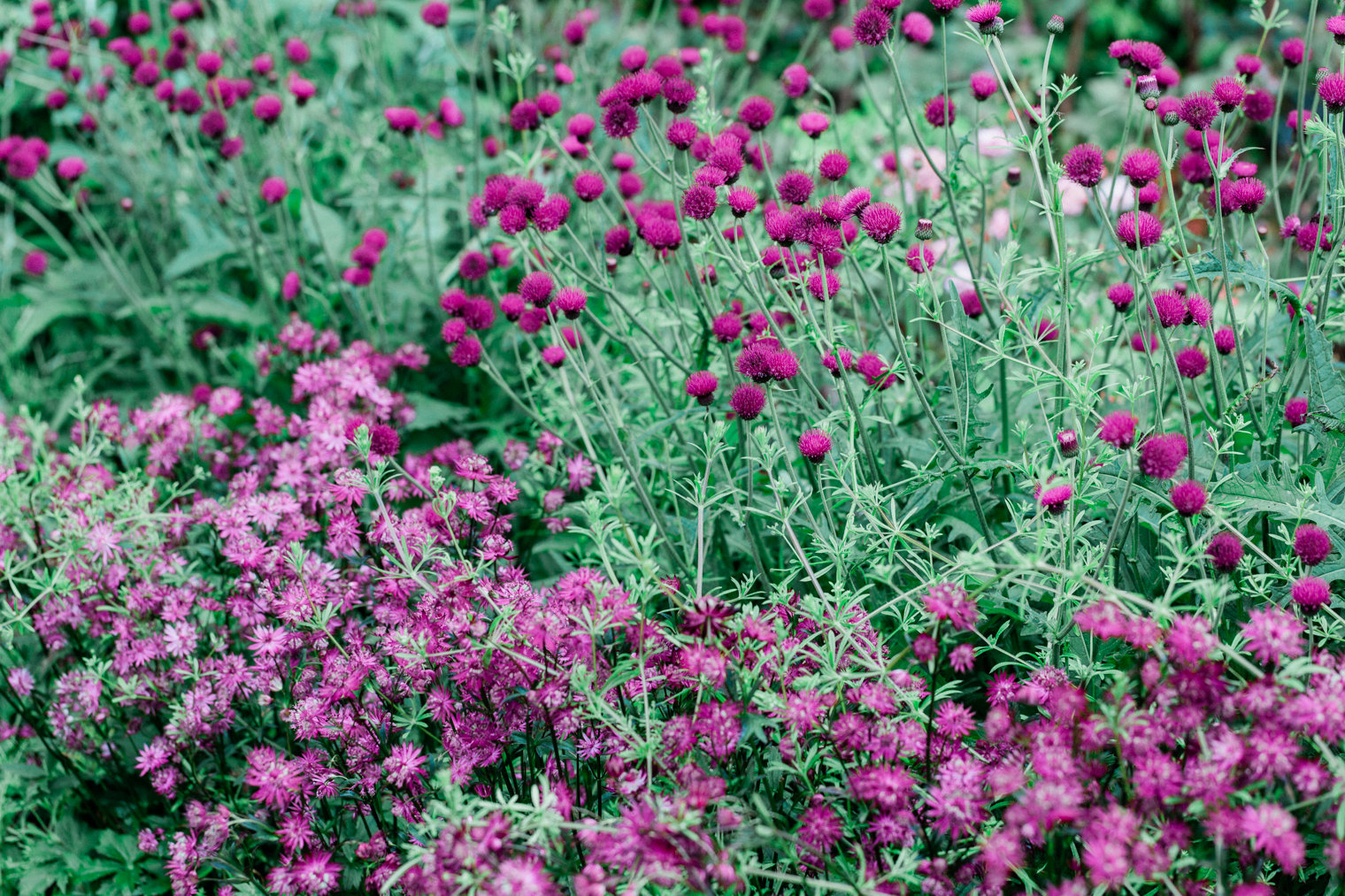 Pink Flowers at Thyme