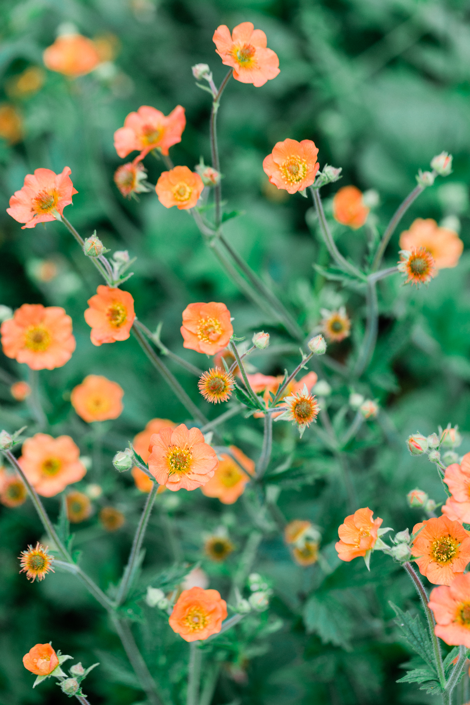 Geums at Thyme