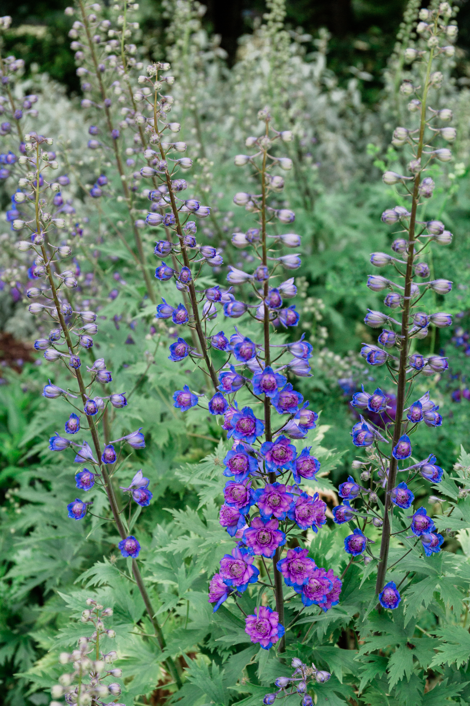 Delphiniums at Thyme