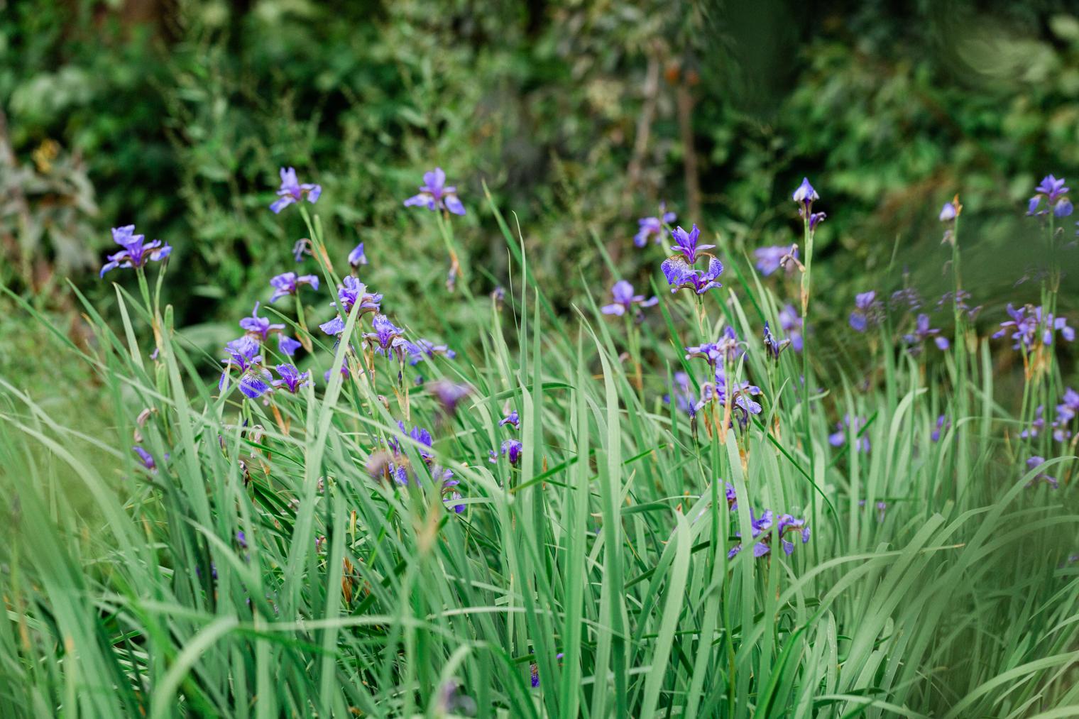 Irises at Thyme