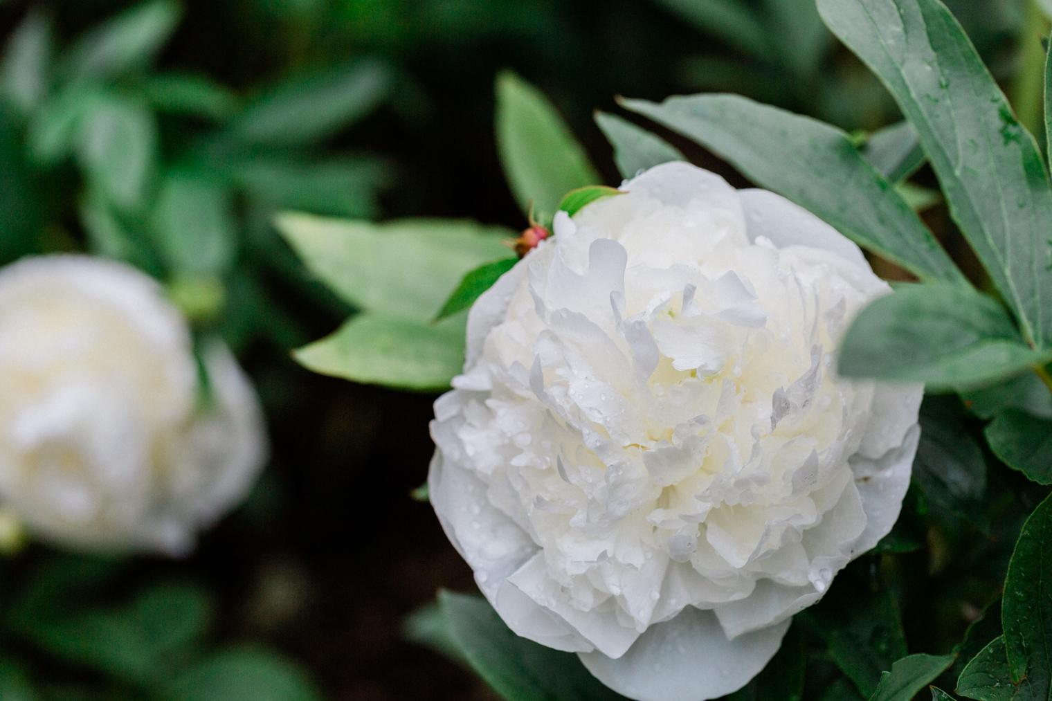 White Peonies at Thyme