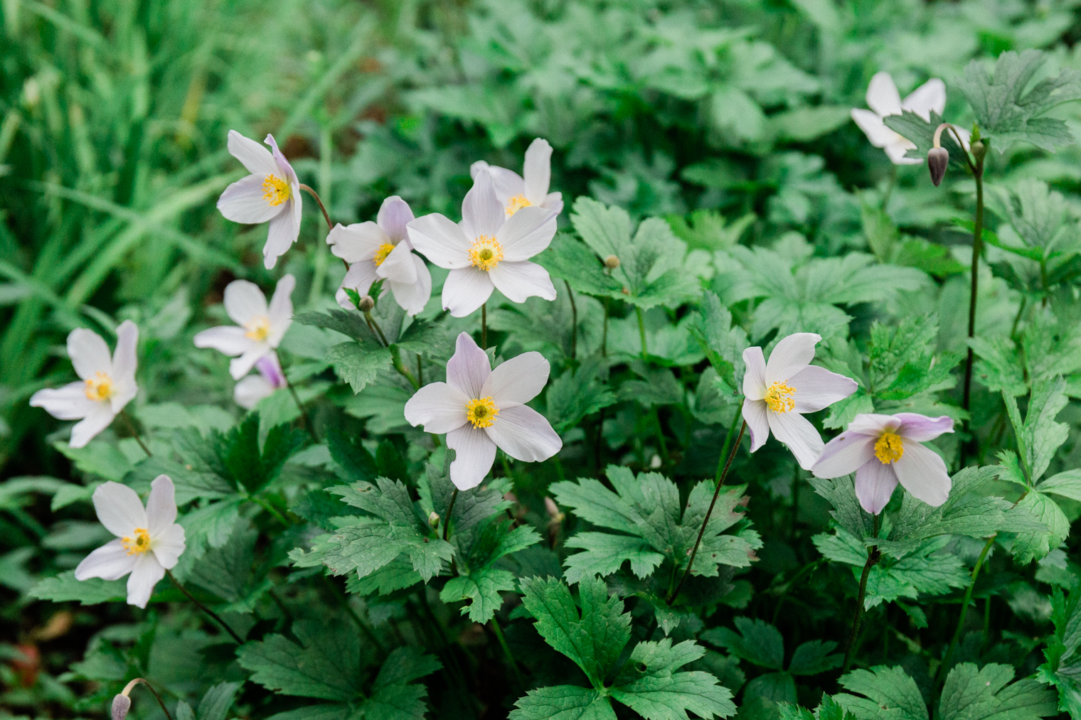 Japanese anemones at Thyme