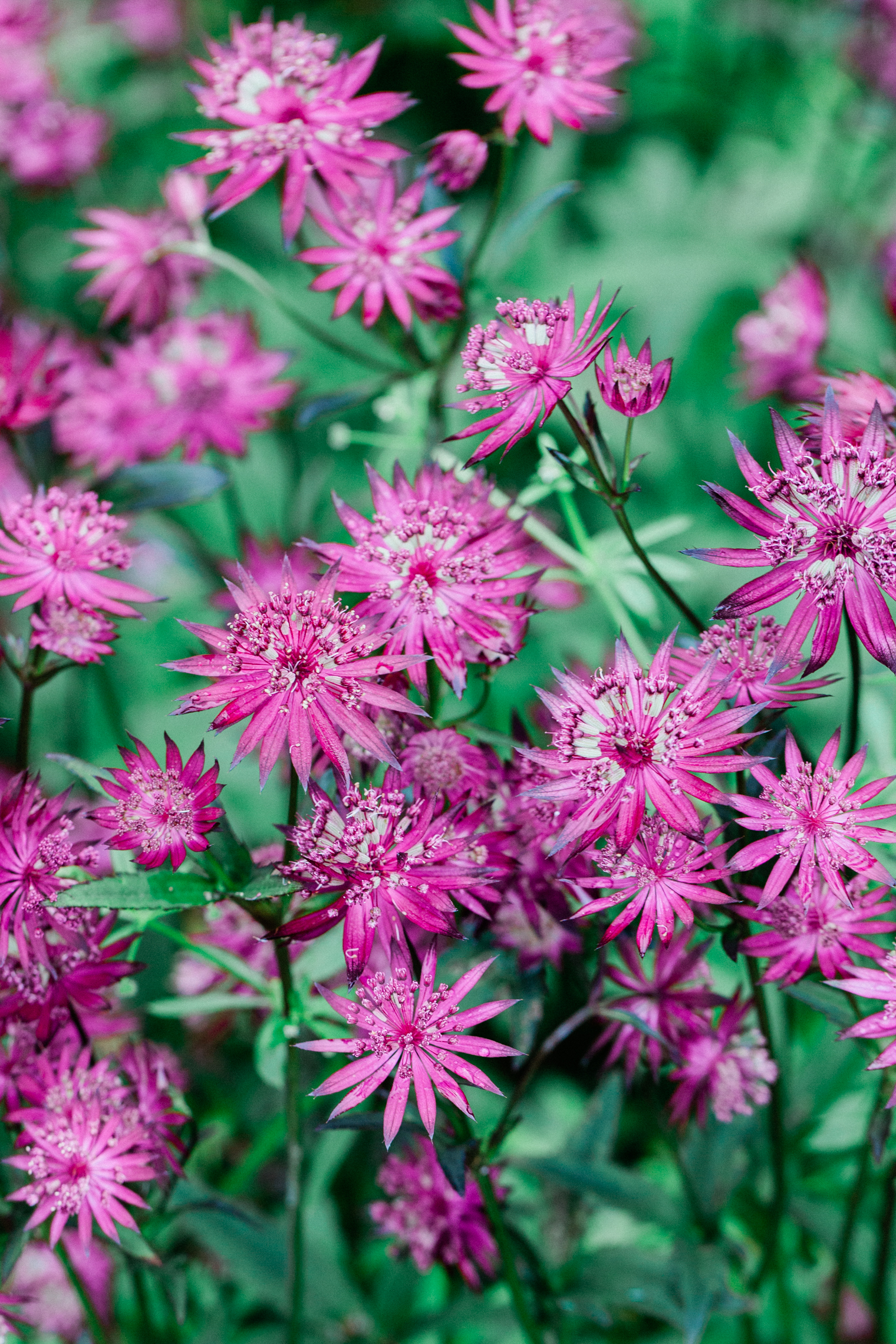 Astrantia in the Cutting Garden at Thyme