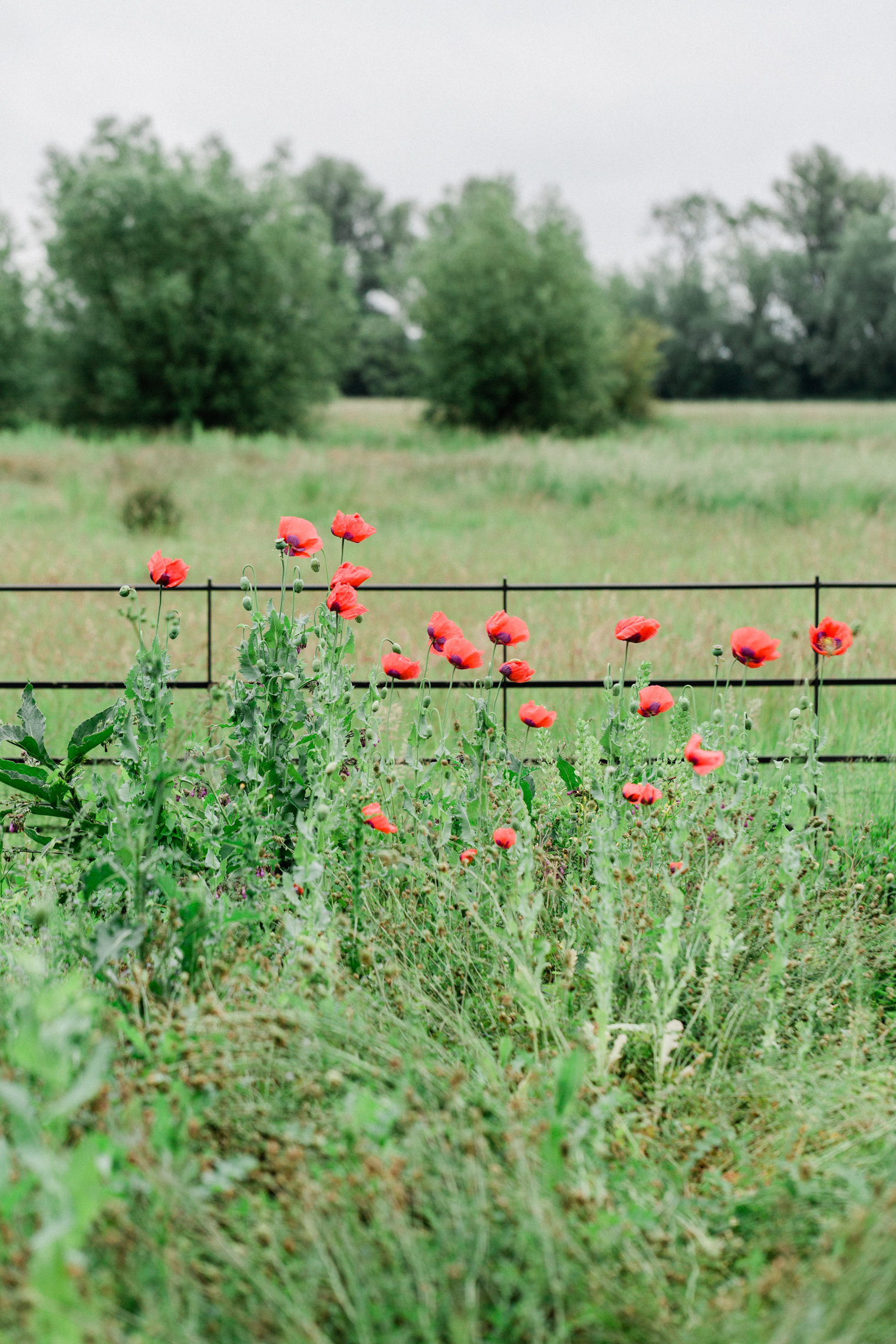Red Poppies at The Cutting Garden at Thyme
